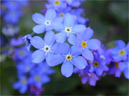Another forget - me -not flowers from Alaska!