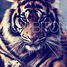 amazing_tiger