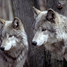 Wolfie121 - US
