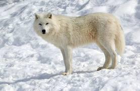 Arctic Wolfie